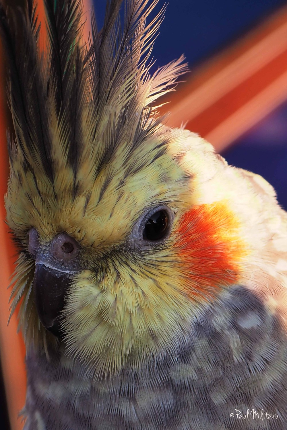 the portrait of a mottled parrot
