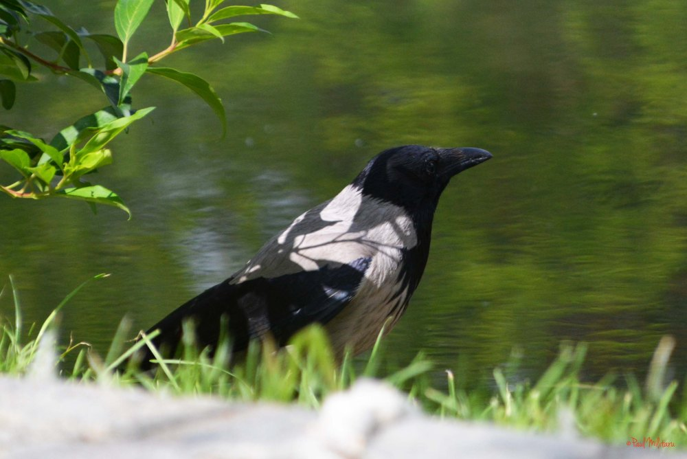 the thinking crow