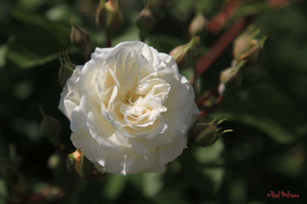 white and delicate rose