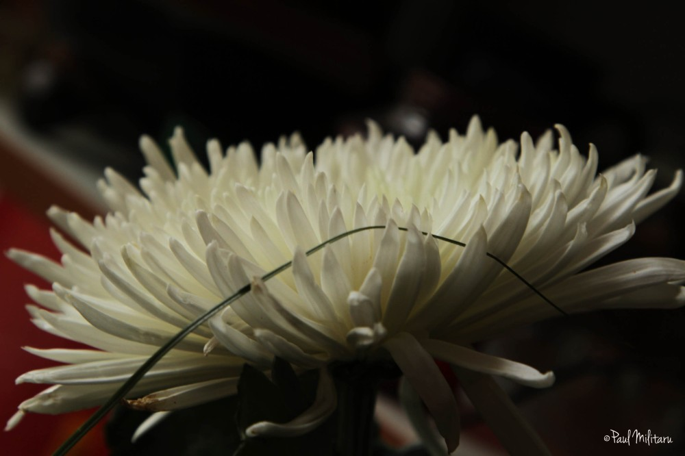 white chrysanthemum 2