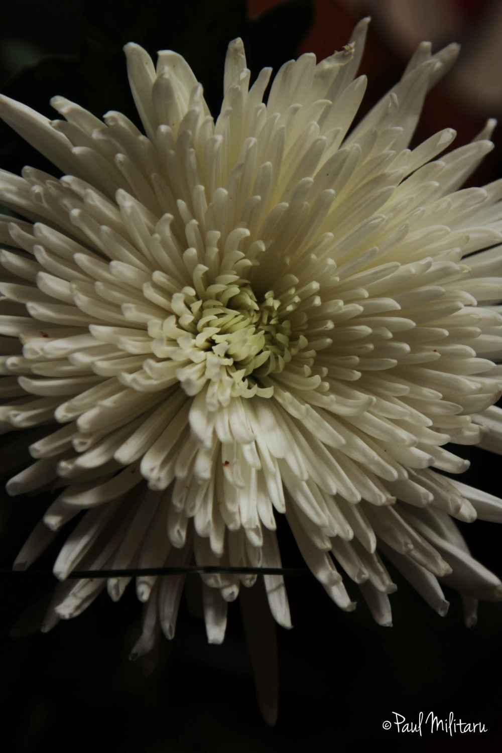 white chrysanthemum 3