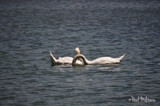 erotic dance of swans 3