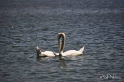 erotic dance of swans 4