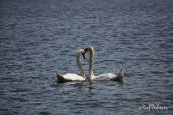 erotic dance of swans 5