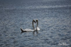 erotic dance of swans 6