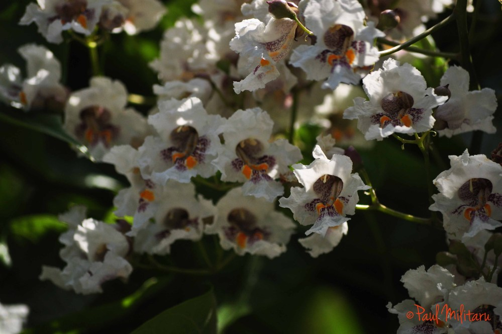 flowers of wild chestnut