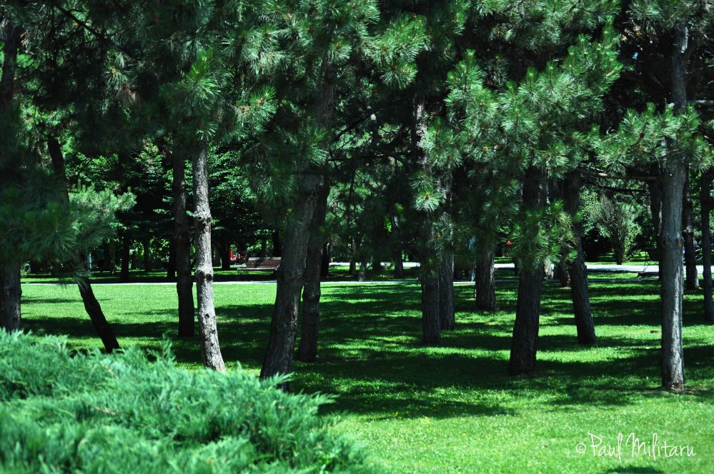 green oasis of pine trees