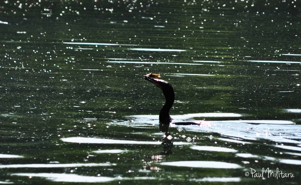 happy cormorant