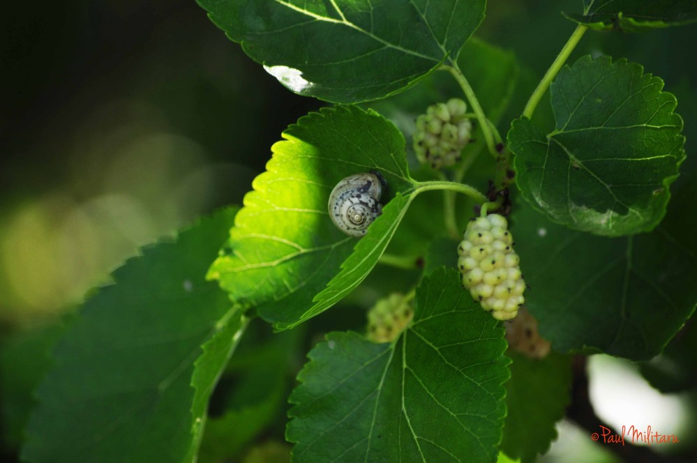 mulberry and snail