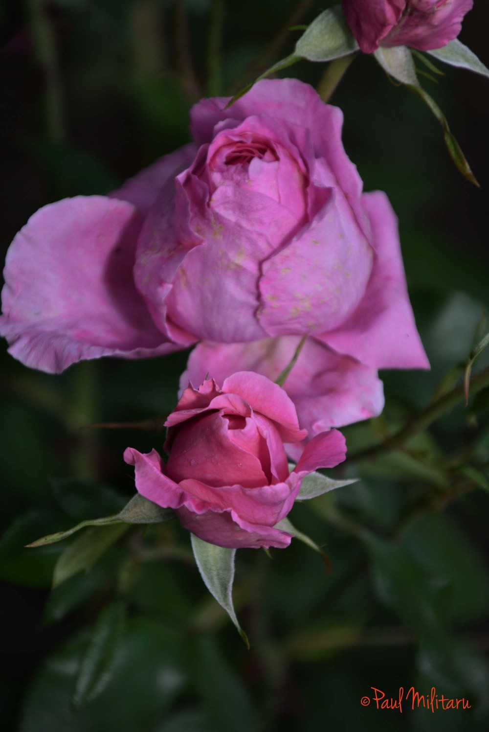 two bud roses
