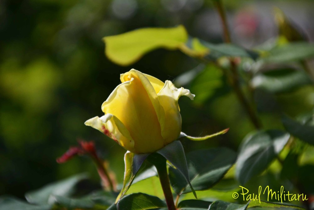 yellow bud rose