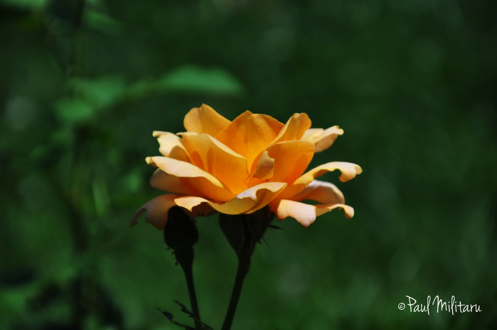 beautiful orange rose