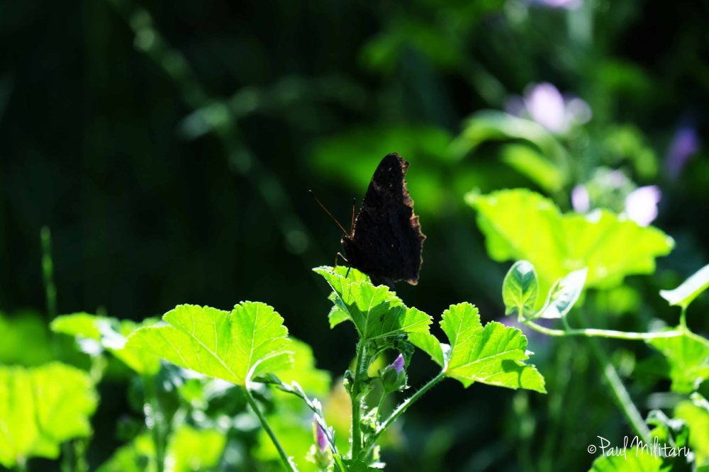 black butterfly in the sun