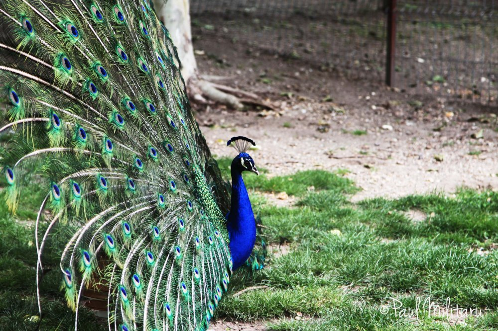blue peacock in the stork