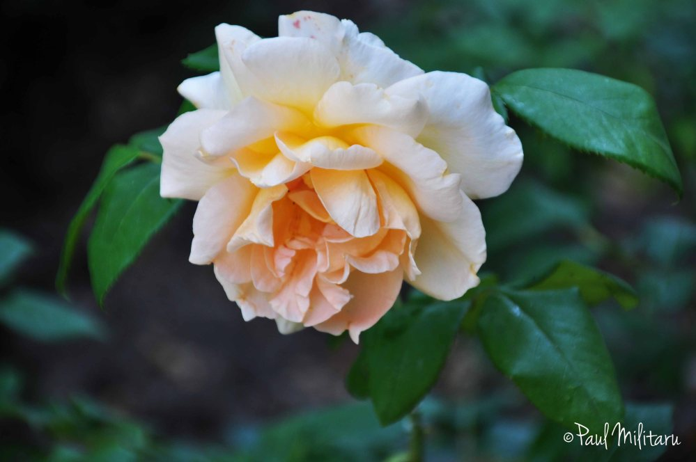 cream-colored rose