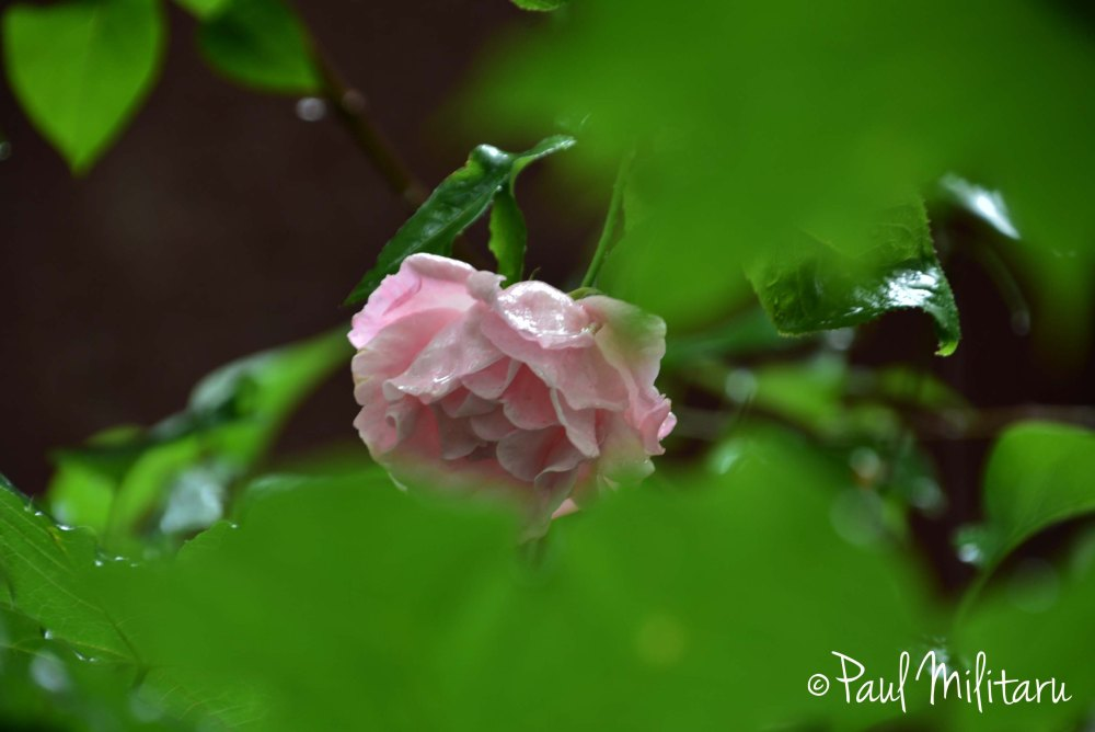 delicate pink rose after rain