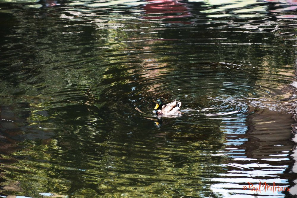 duck in troubled waters