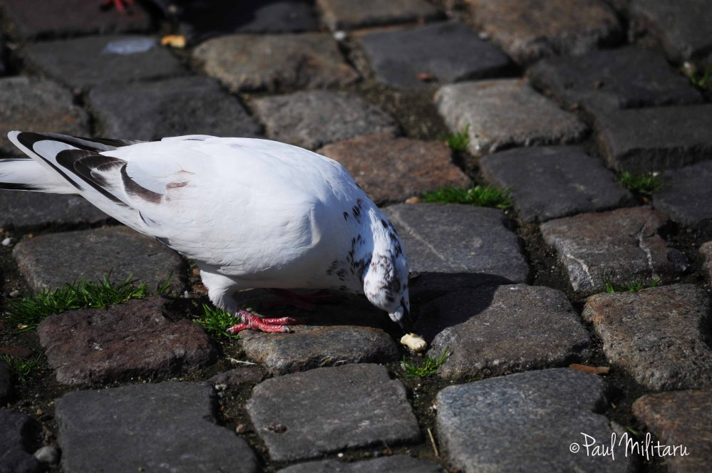 pigeon eating