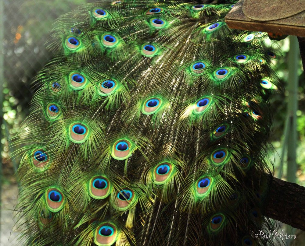tail of a blue peacock
