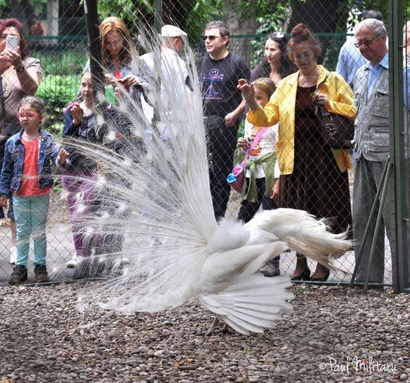 the dance of a white peacock