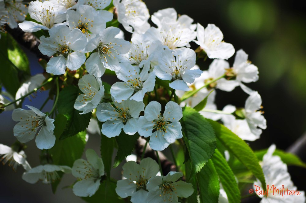 tree white flowers