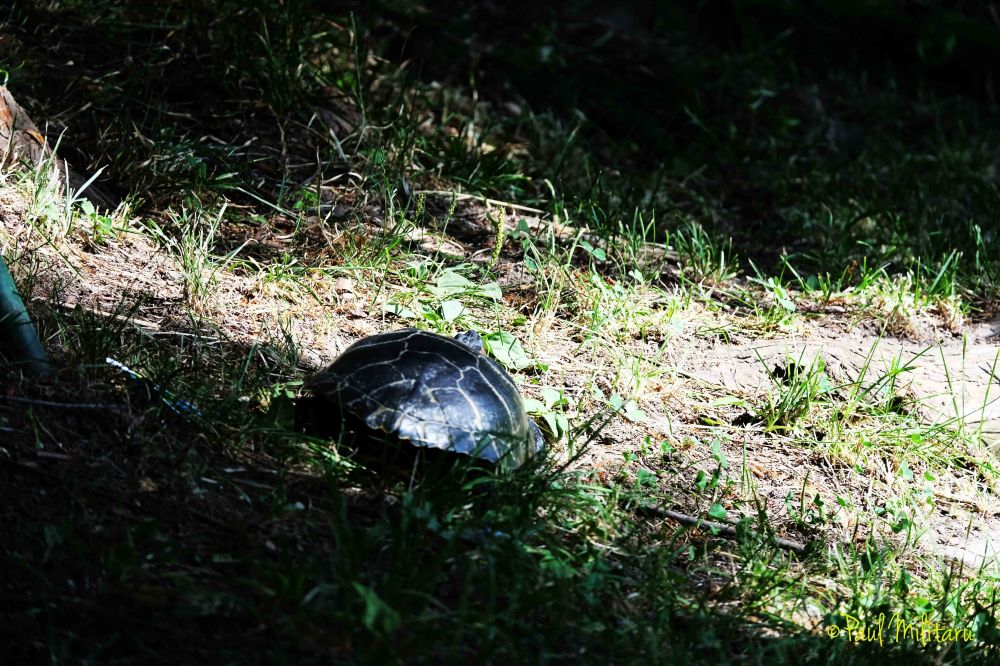 turtle to walk...