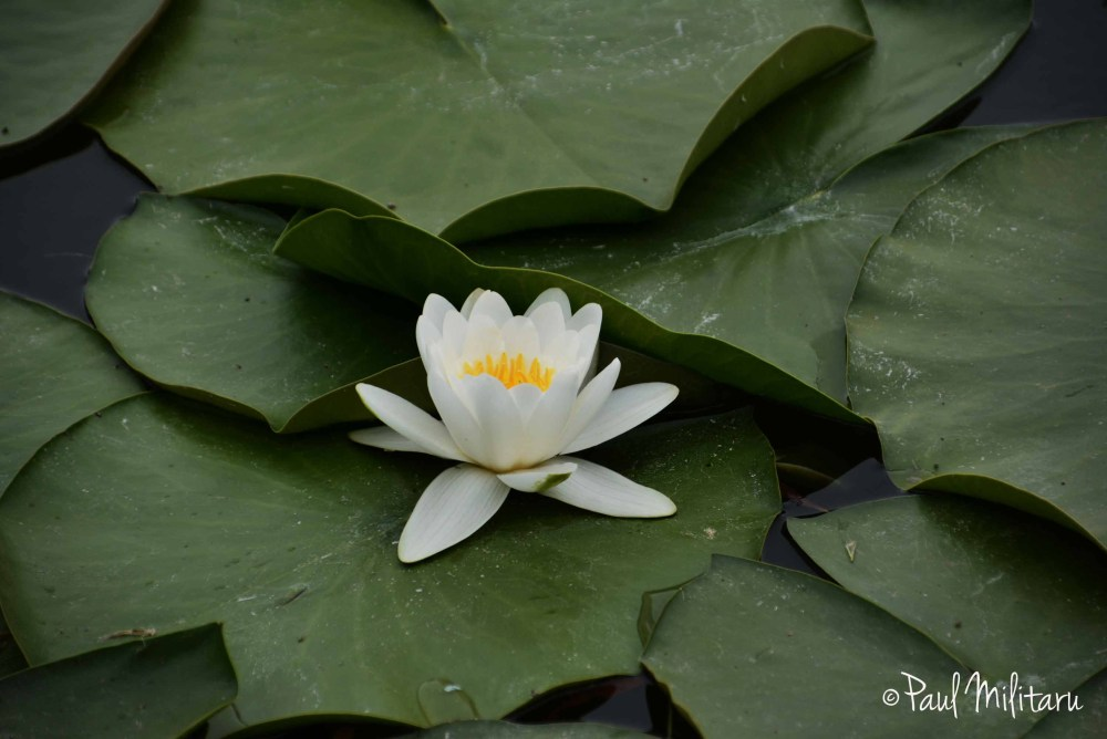 water lily 1