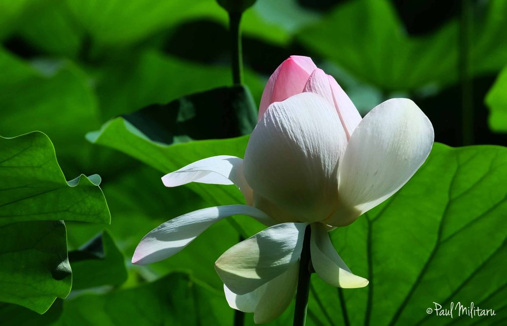 white and pink waterlily