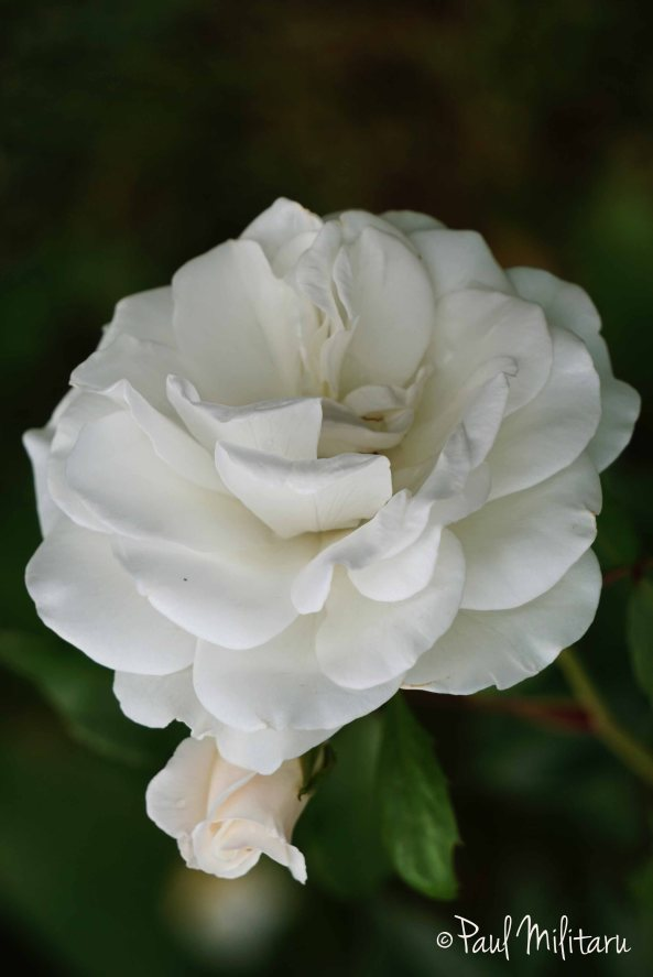 white rose and bud - purity forever