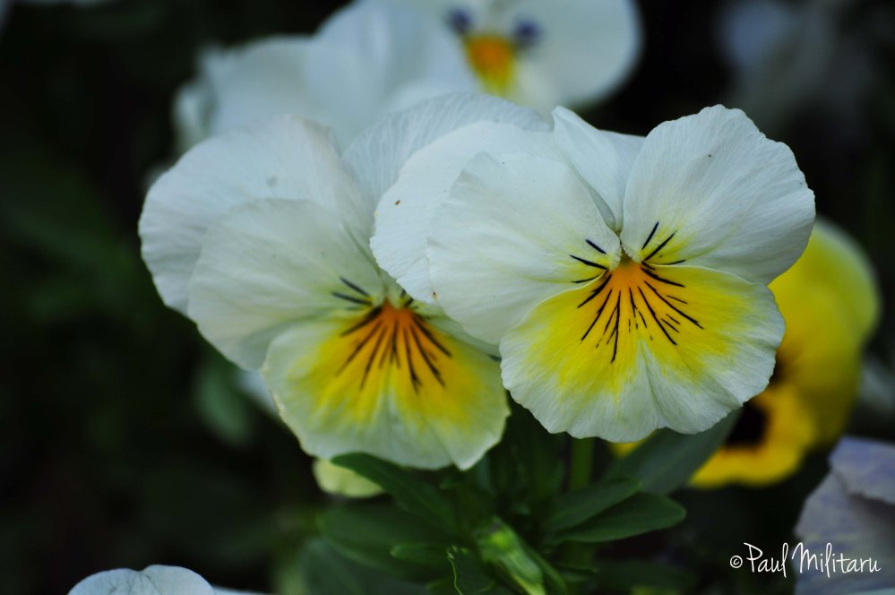 white-yellow pansies