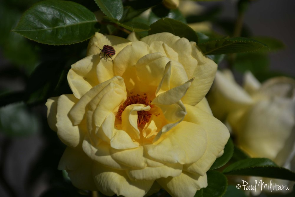 yellow rose and a bug