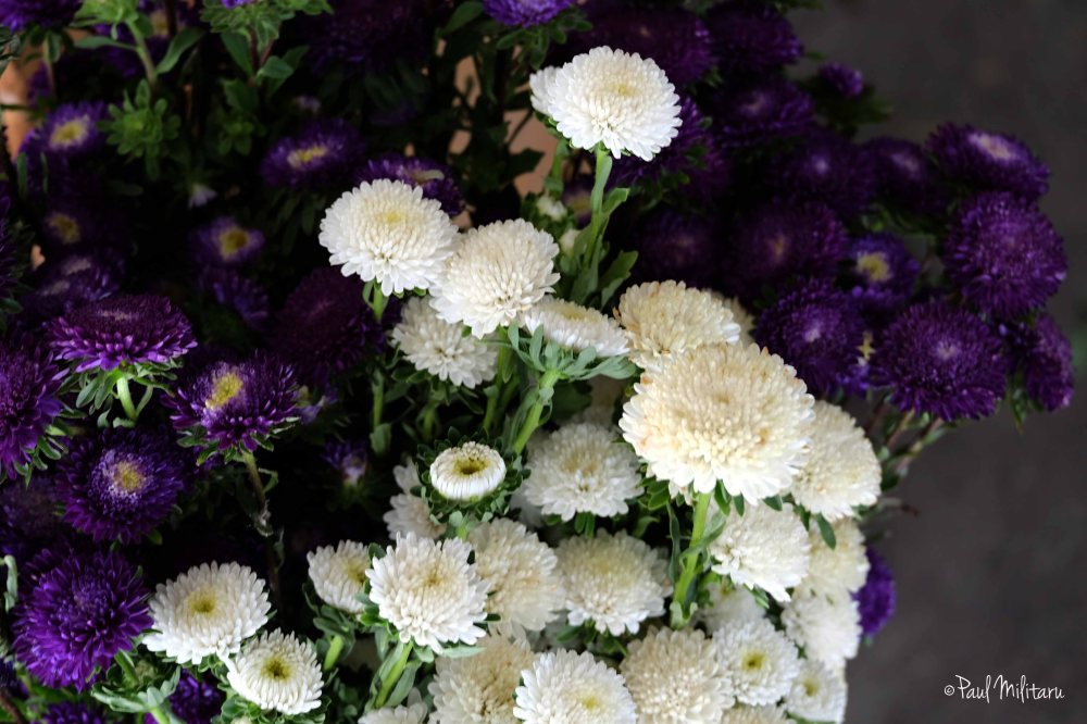 aster alpinus, white and dark purple