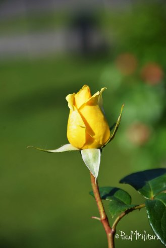 beautiful rose buds 2