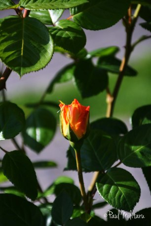 beautiful rose buds 4