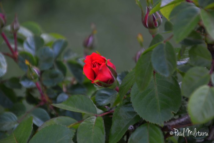 beautiful rose buds 5