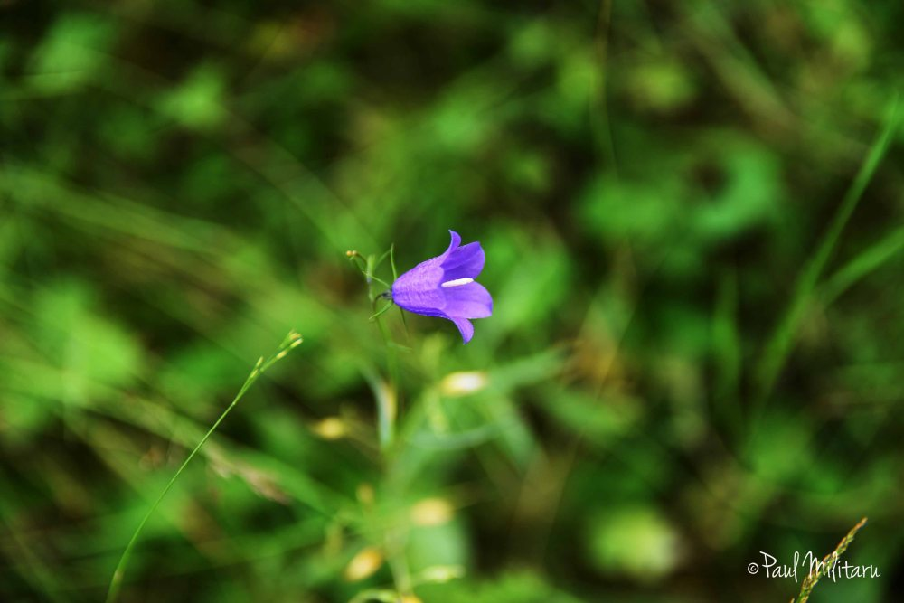 mountain blue bell