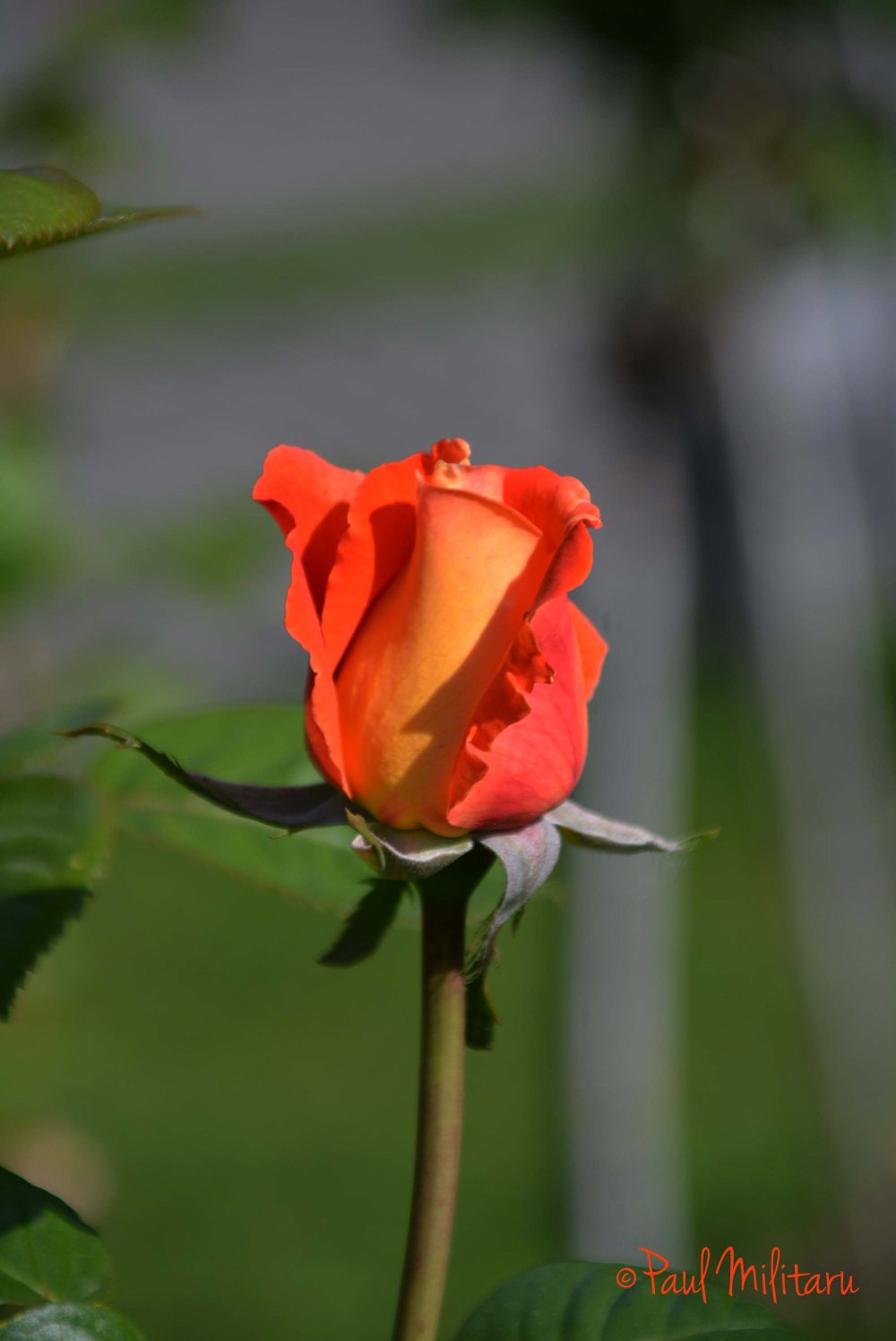 orange beautiful rose