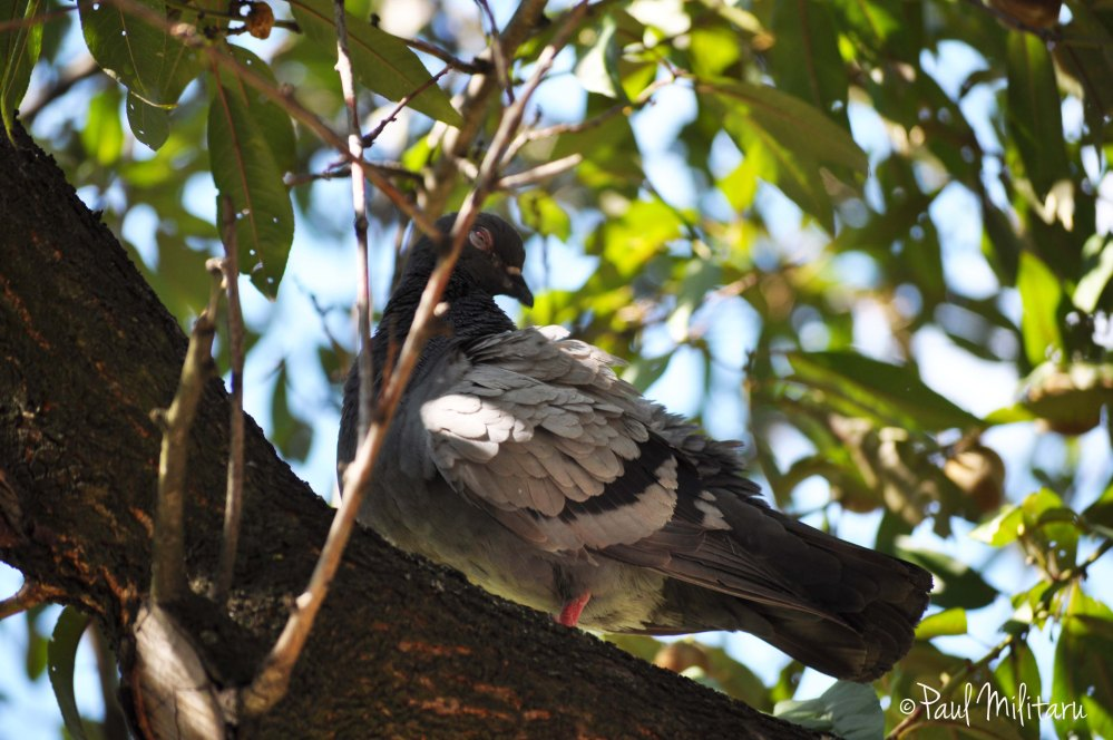 pigeon in the tree