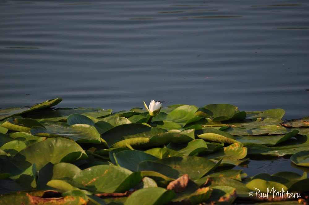 solitary between water and leaves