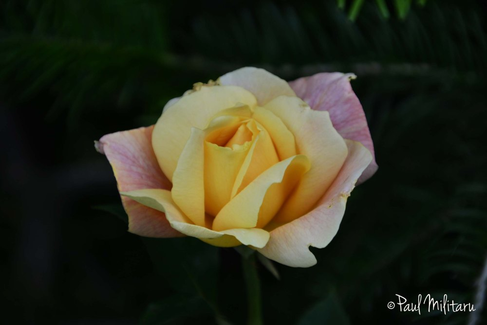 yellow and light purple rose