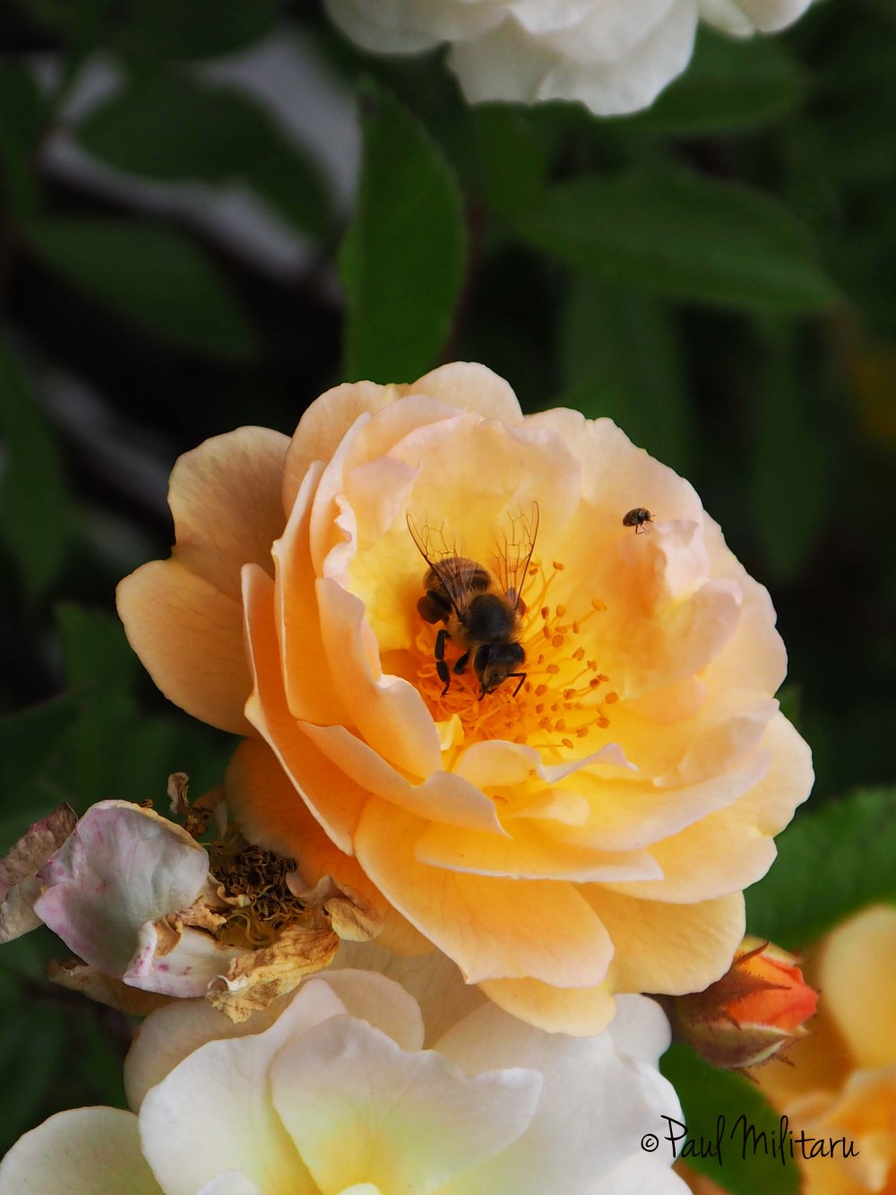 a rose and a bee
