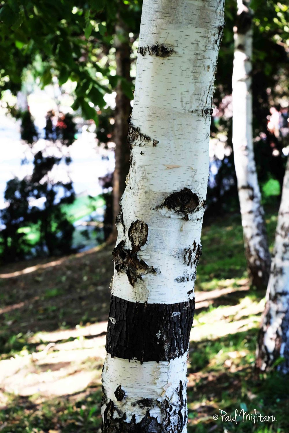 birch tree in september