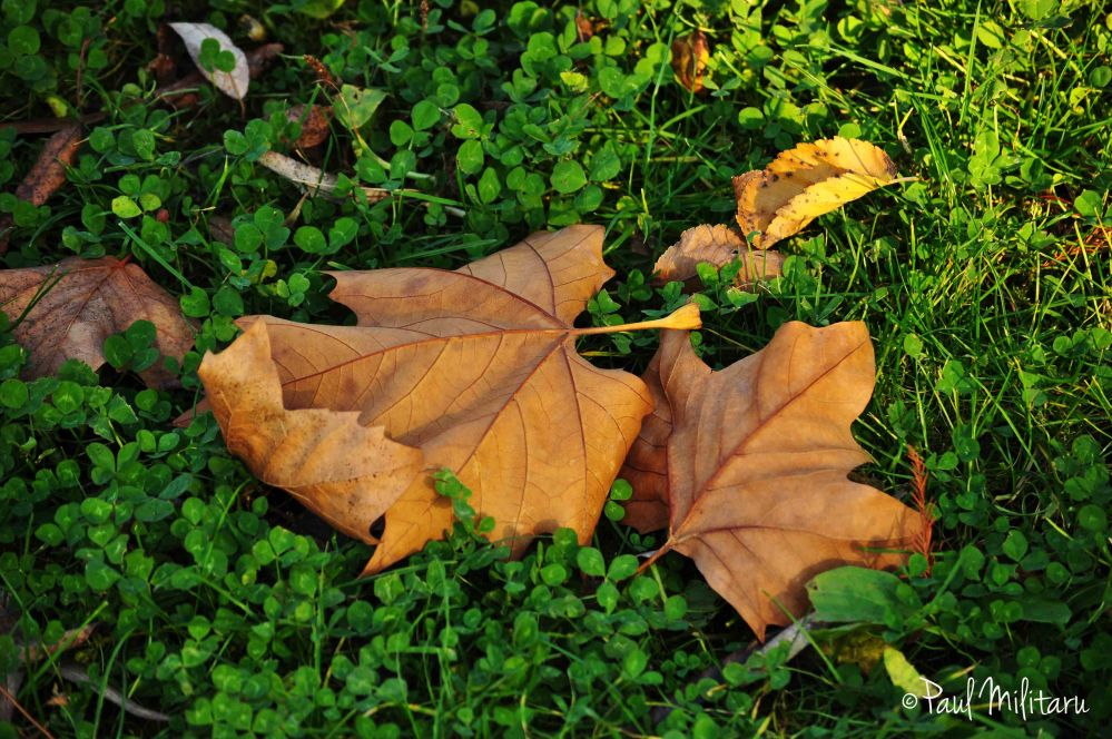 leaves lost in clover