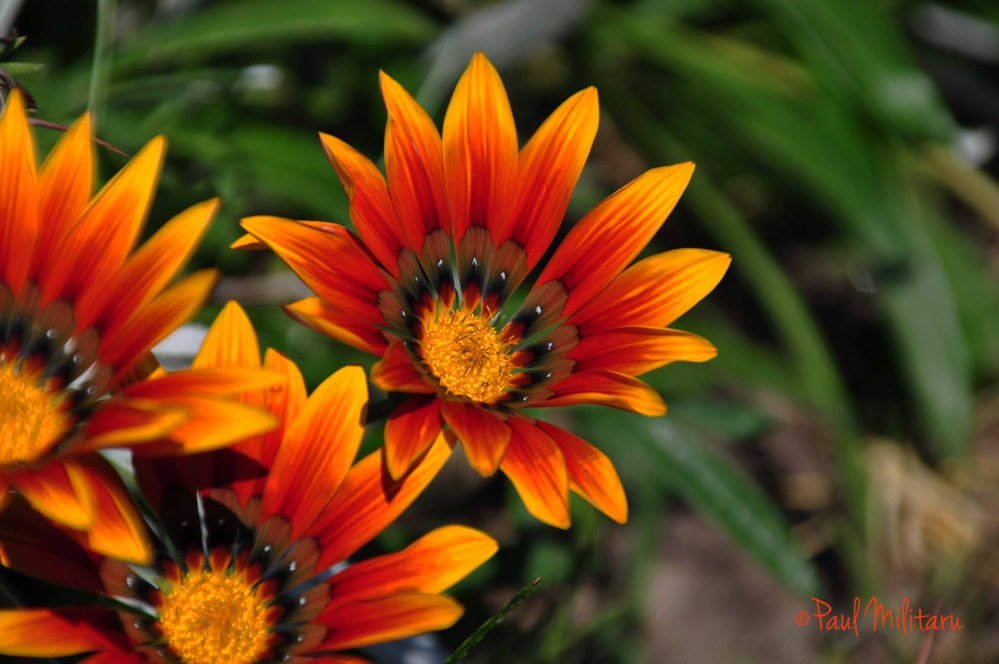 red-yellow gazania
