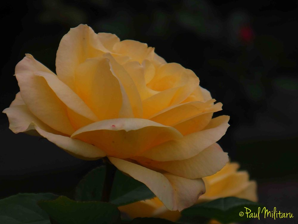 soft delicate yellow