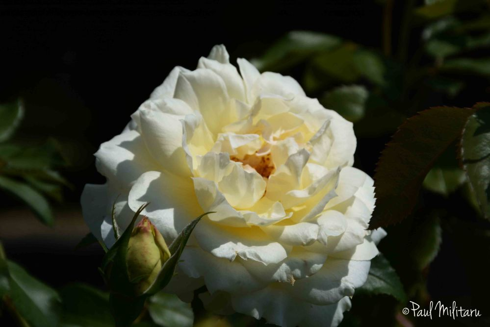 white rose in the sun of september