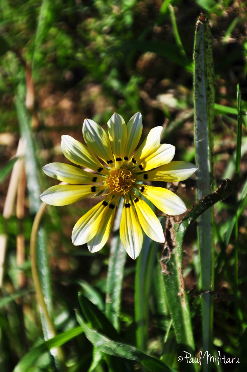 yellow-white gazania