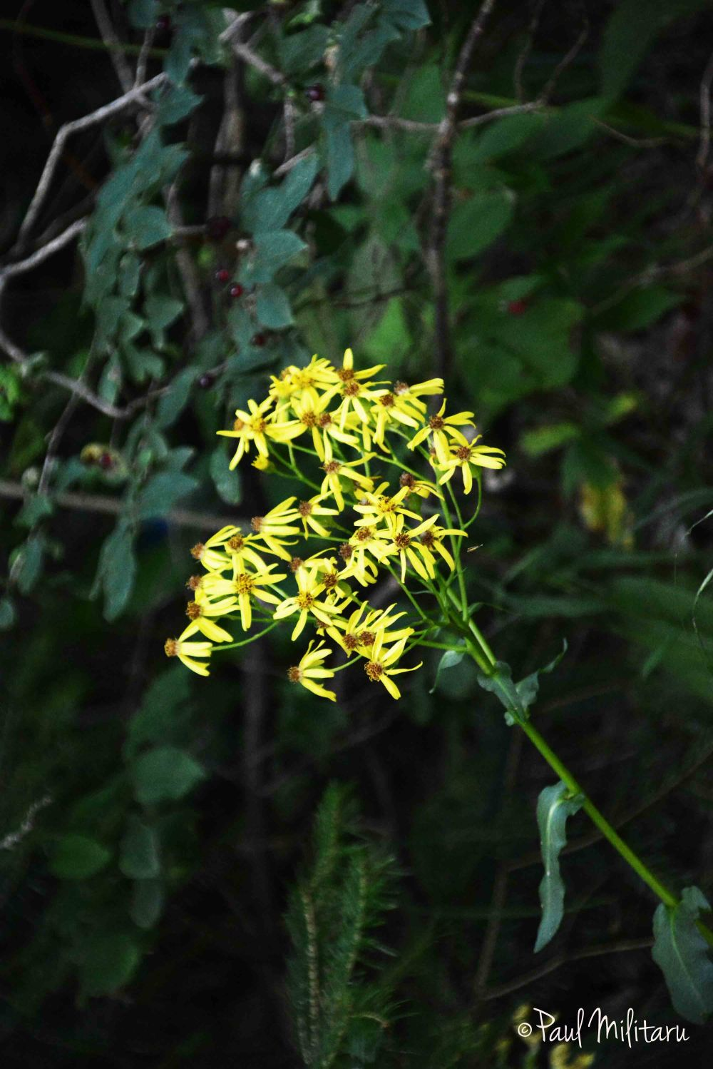 yellow wild mountain flowers