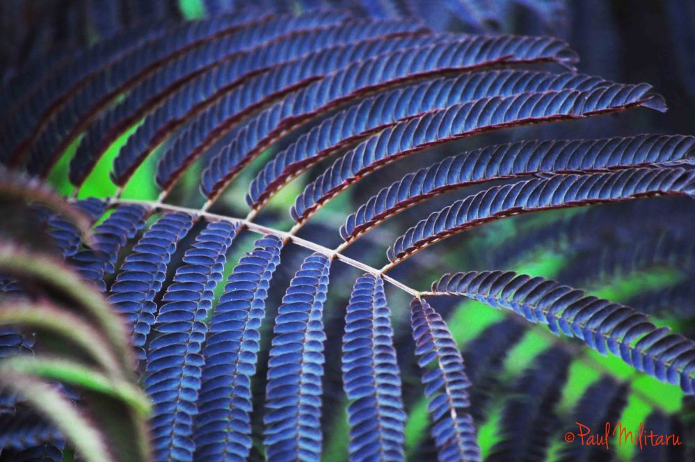 dark purple fern