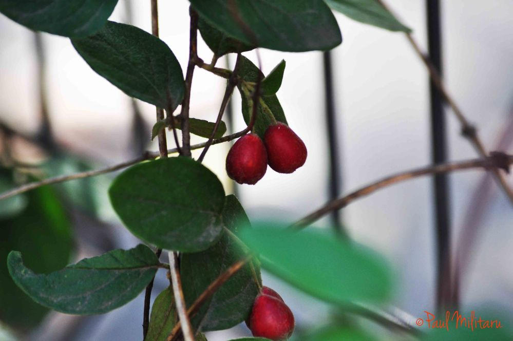 red wild fruits